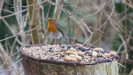 robin bird: robin bird on forest background