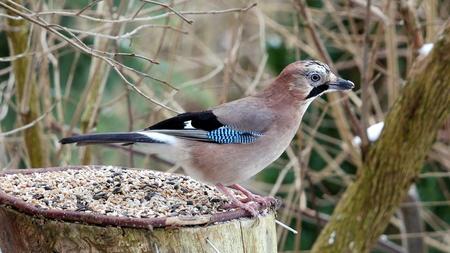 jay: bird jay (garrulus glandarius) on forest background
