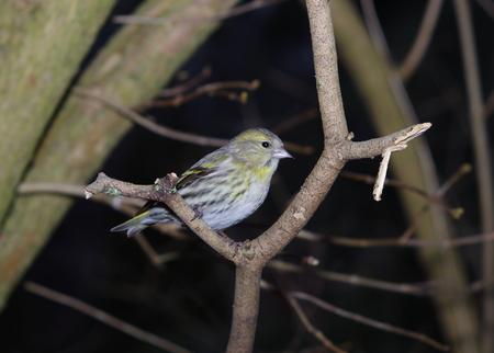 war bird: bird siskin  on forest background