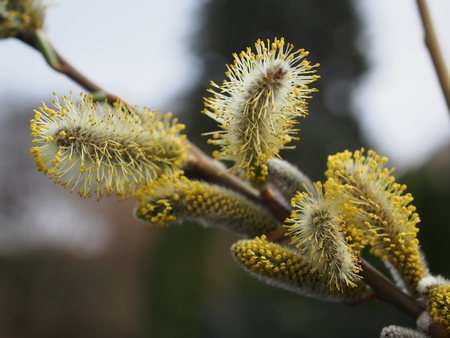 pussy tree: pussy willow flower on tree background Stock Photo
