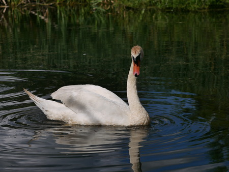 swimming swan: swimming swan in summer scenery