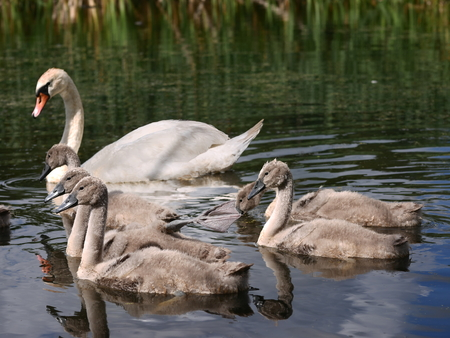 swan family on water Stock Photo