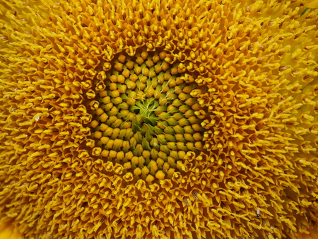 l agriculture: yellow sunflower close up