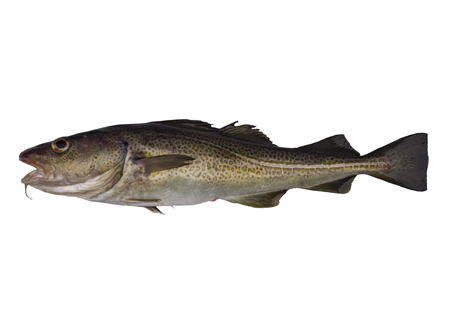 burbot: big cod fish on a white background Foto de archivo