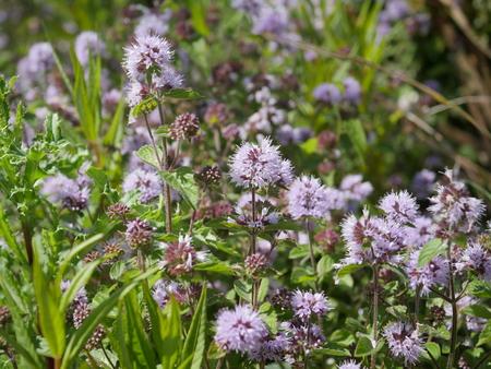 mint flowers in the meadow lamiaceae lindl