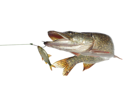 long pike and roach on white background