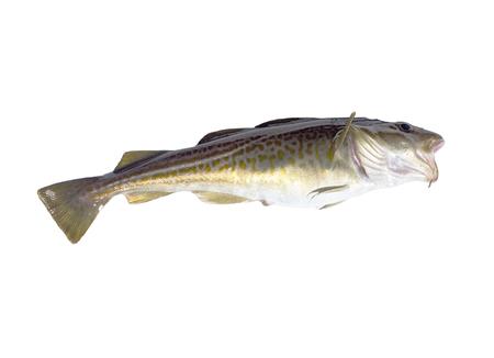 burbot: bacalao grande en un fondo blanco Foto de archivo