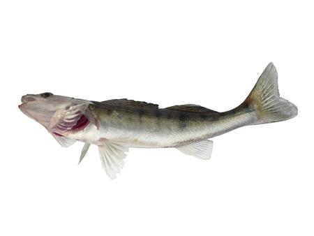 long zander on white background