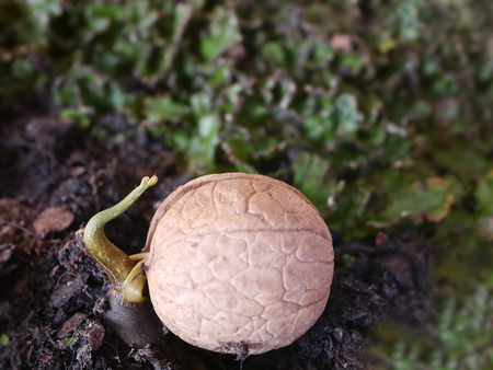 germinated walnut with root on soil background