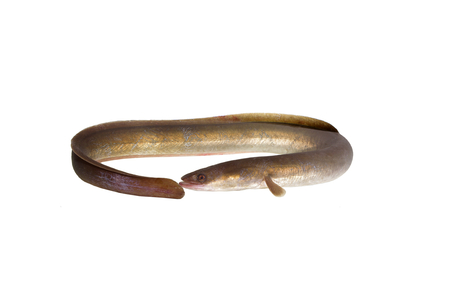 long eel on white background