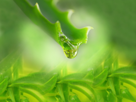 aloe leaf with dripping clear juice