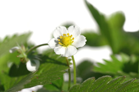 wild strawberry with white flower  fragaria vesca