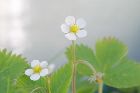 wild strawberry with white flower  fragaria vesca