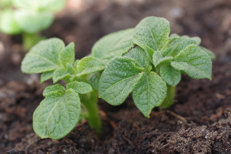 renew.: growing potato shoots from the ground Stock Photo