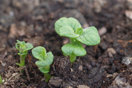 growing potato shoots from the ground Stock Photo