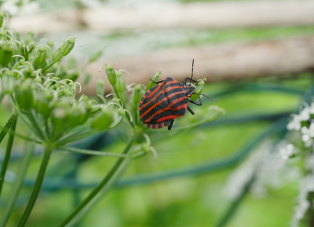 graphosoma: graphosoma lineatum bug  on plant background