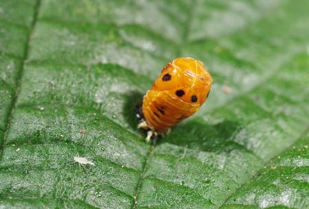 coccinella: ladybird larva on green leaf coccinella septempunctata Stock Photo