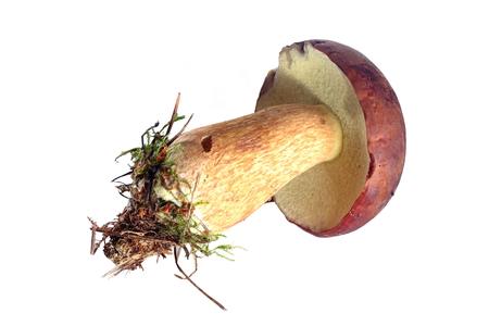 edible  mushroom isolated on white background