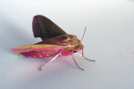night pink butterfly deilephila elpenor