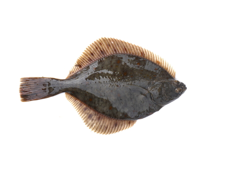 flounder on a white background