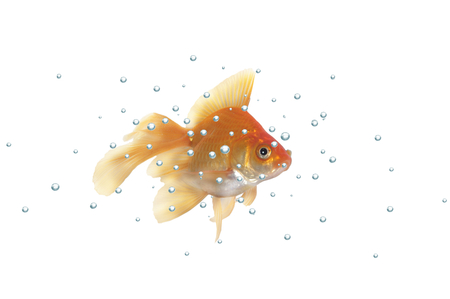 gold fish with bubbles on a white background Stock Photo