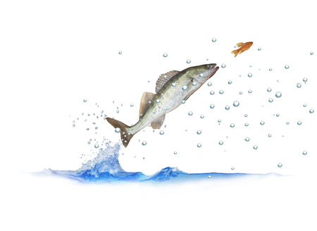 jumping out for fish zander with bubbles on white background