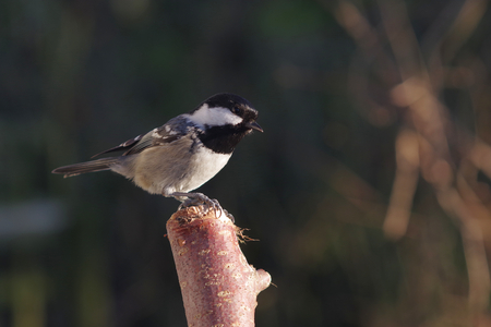 periparus ater  titmouse on forest background
