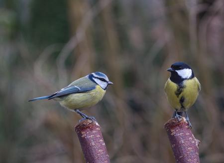 two bird tit on tree background Stock Photo - 94605846