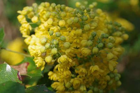 Mahonia aquifolium oregon grape with yellow flowers Banque d'images