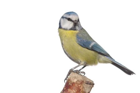 wild bird coalmouse onwhite background