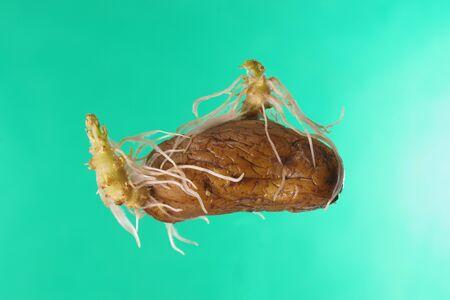 germinating potato on a green background