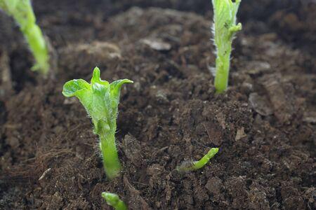 faire pousser des pousses de pommes de terre à partir du sol Banque d'images