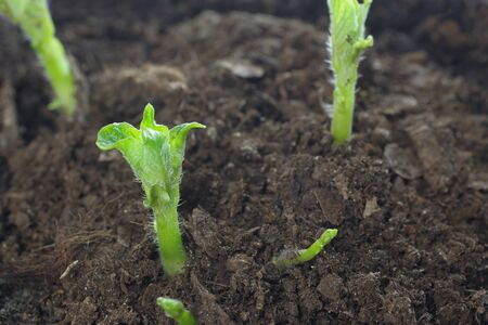 growing potato shoots from the ground
