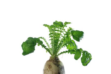 white radish with green leaves on white background