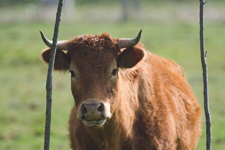 brown cow on pasture on forest background Banque d'images
