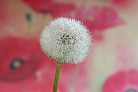 dandelion seed with water droplets macro