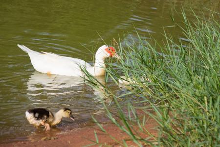 ducks water: Ducks floats on water Stock Photo