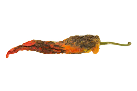 putrid: rotten pepper isolated on white background