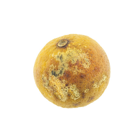 perishable: rotten Lemon fruit isolated on white background
