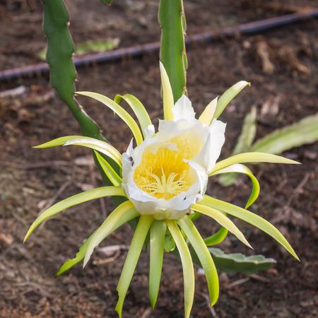 sepals: Dragon flower in the garden