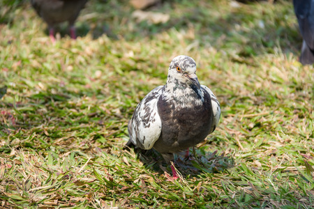 feral: Rock feral pigeon doves resting on winter green grass park meadow