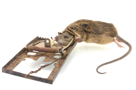 riesgo biologico: The mouse in a mousetrap it is isolated on a white background Foto de archivo