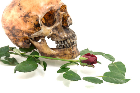 corpse flower: Skull with and  rose  isolated on a white background Stock Photo