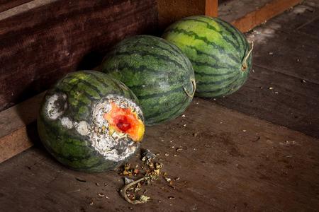 rotten: Rotten watermelon on wood