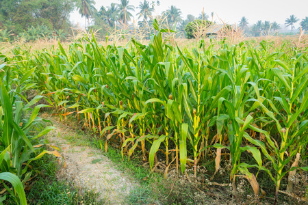zea: Zea mays Linn. , Sweet corn in the field