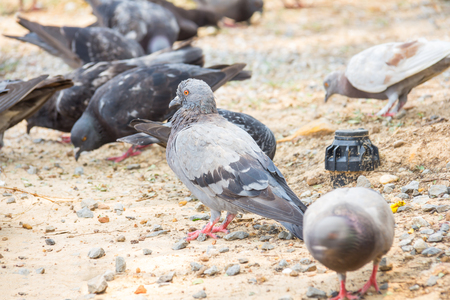 Rock feral pigeon doves resting on winter green grass park meadow
