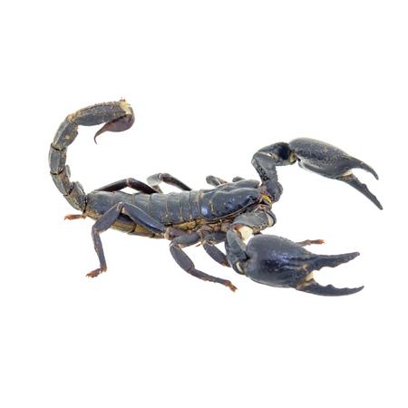 pinchers: Scorpion isolated on white background Stock Photo