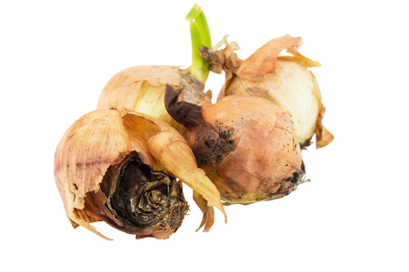 rotten onion isolated on white background
