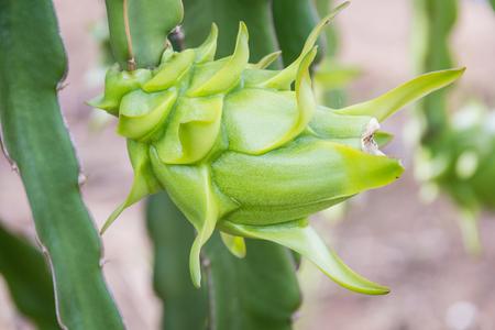 Green dragon flower in the garden Stock Photo