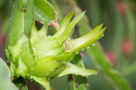 dragon Fruit on the tree after rain in garden